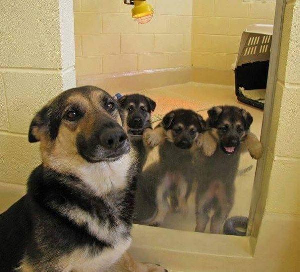 Shepard puppies