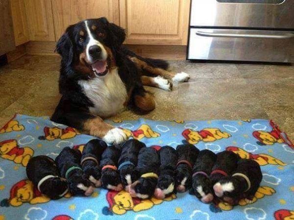 Bernice Mountain Dog Puppies