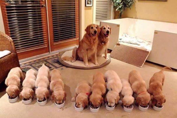 Golden puppies