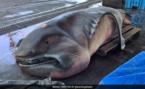 megamouth-shark_650x400_81460987215