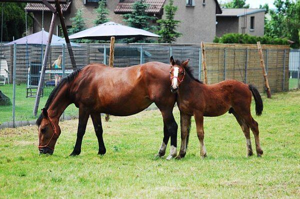 horse mares premarin